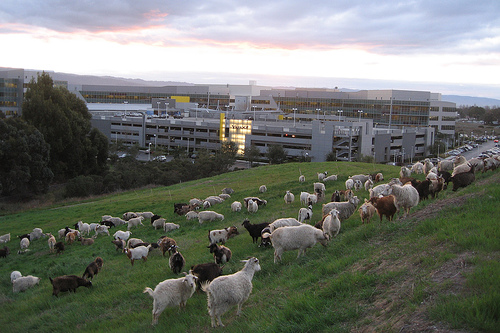 Google Hires 200 Goats to Munch their Weeds