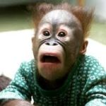 baby orangutan looks shocked