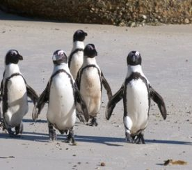 March of the Penguins, Which Led to a Friendly Panda and Finally a Recovery