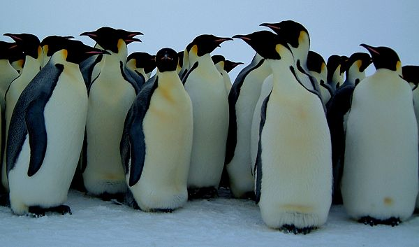 The Long and Hard Road to Penguin Recovery