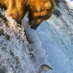 Grizzly_Bear_Fishing_Brooks_Falls
