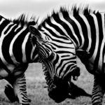 africa-animals-zebras