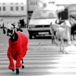 Goat in the red sweater walking through the road.